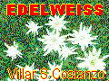 Edelweiss v.S.Costanzo